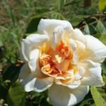 Rosier-Nabonnand - Le jardin de Gassin
